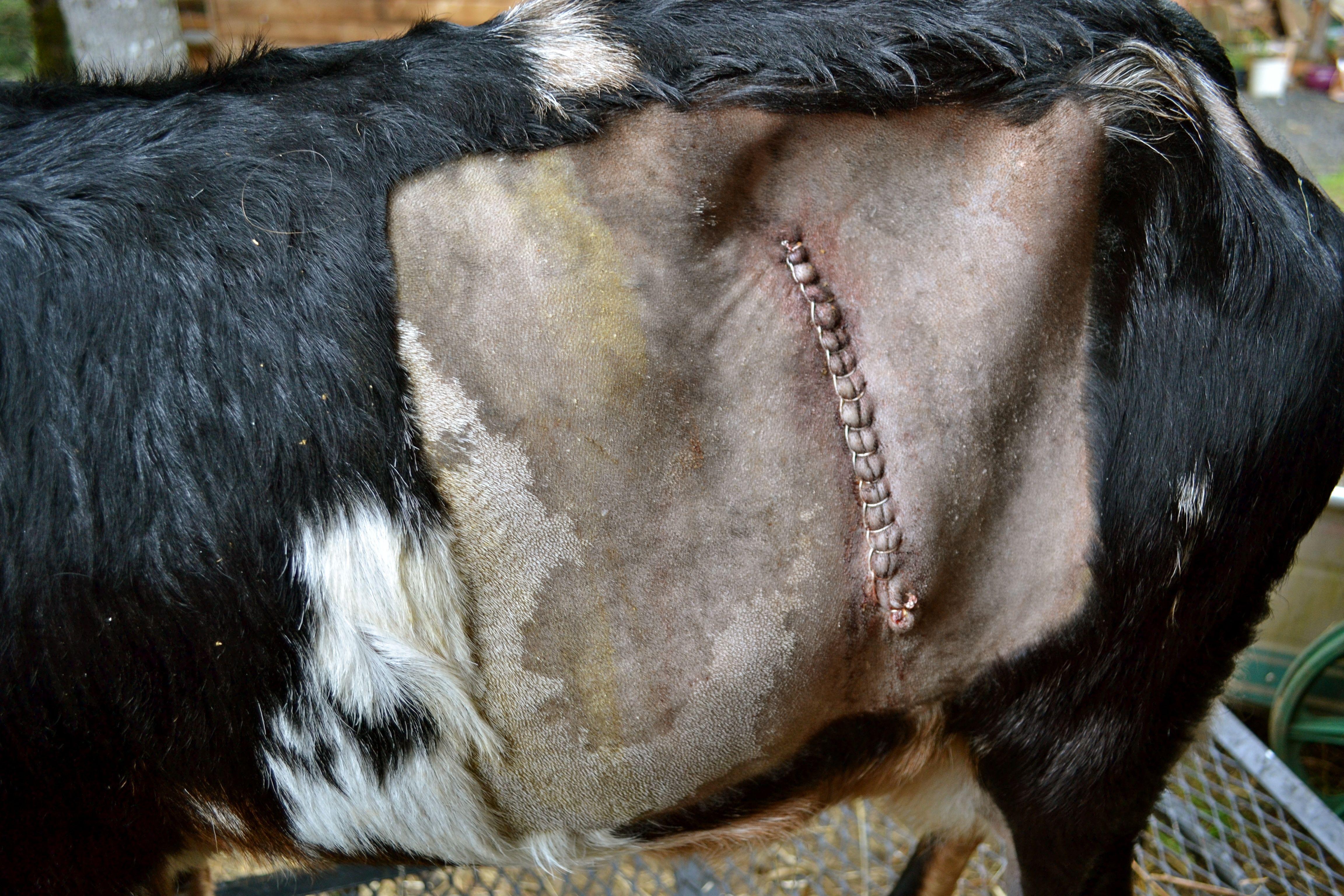 Details of post-partum goat kidding complications