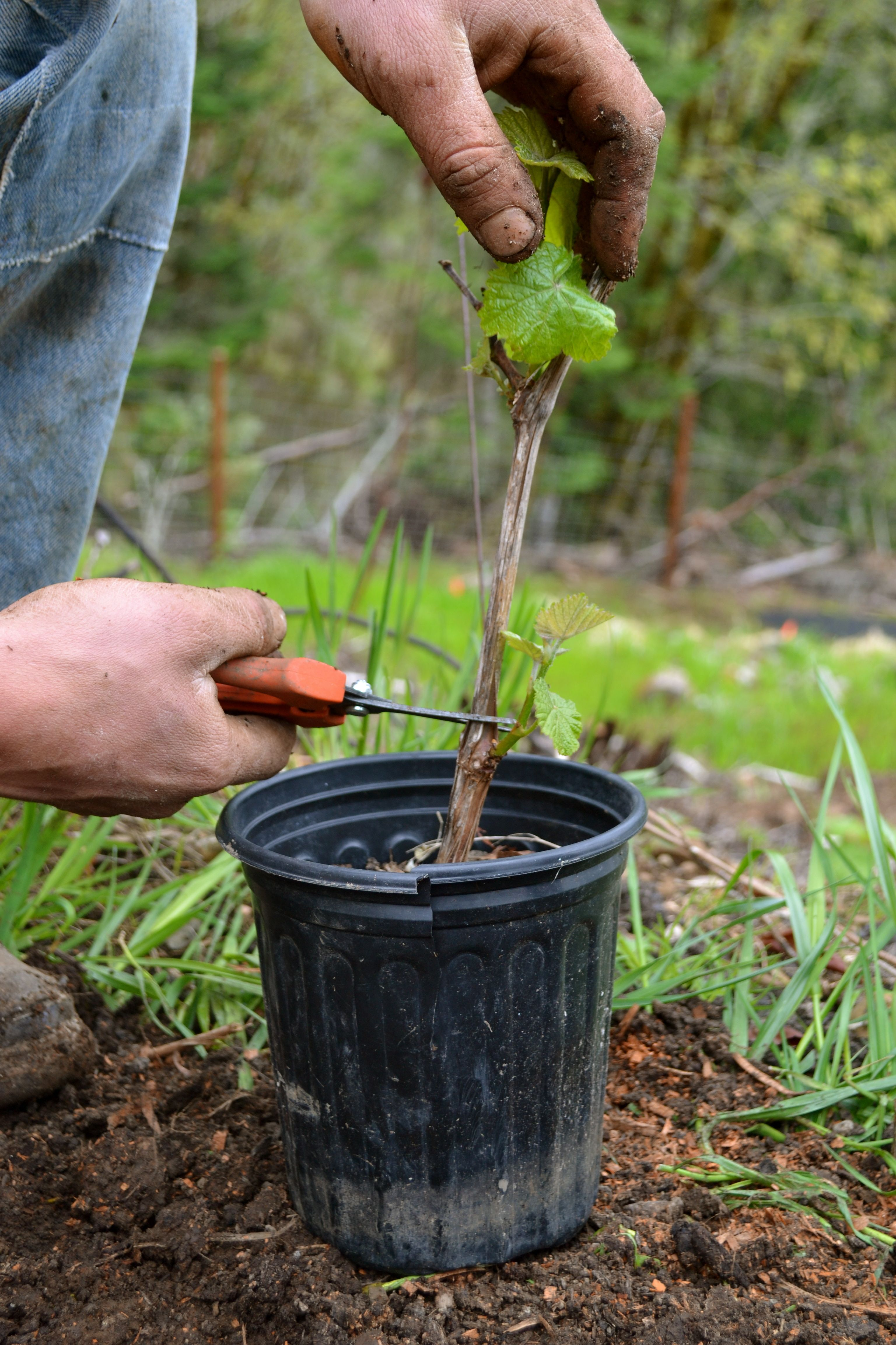 When to plant grapes