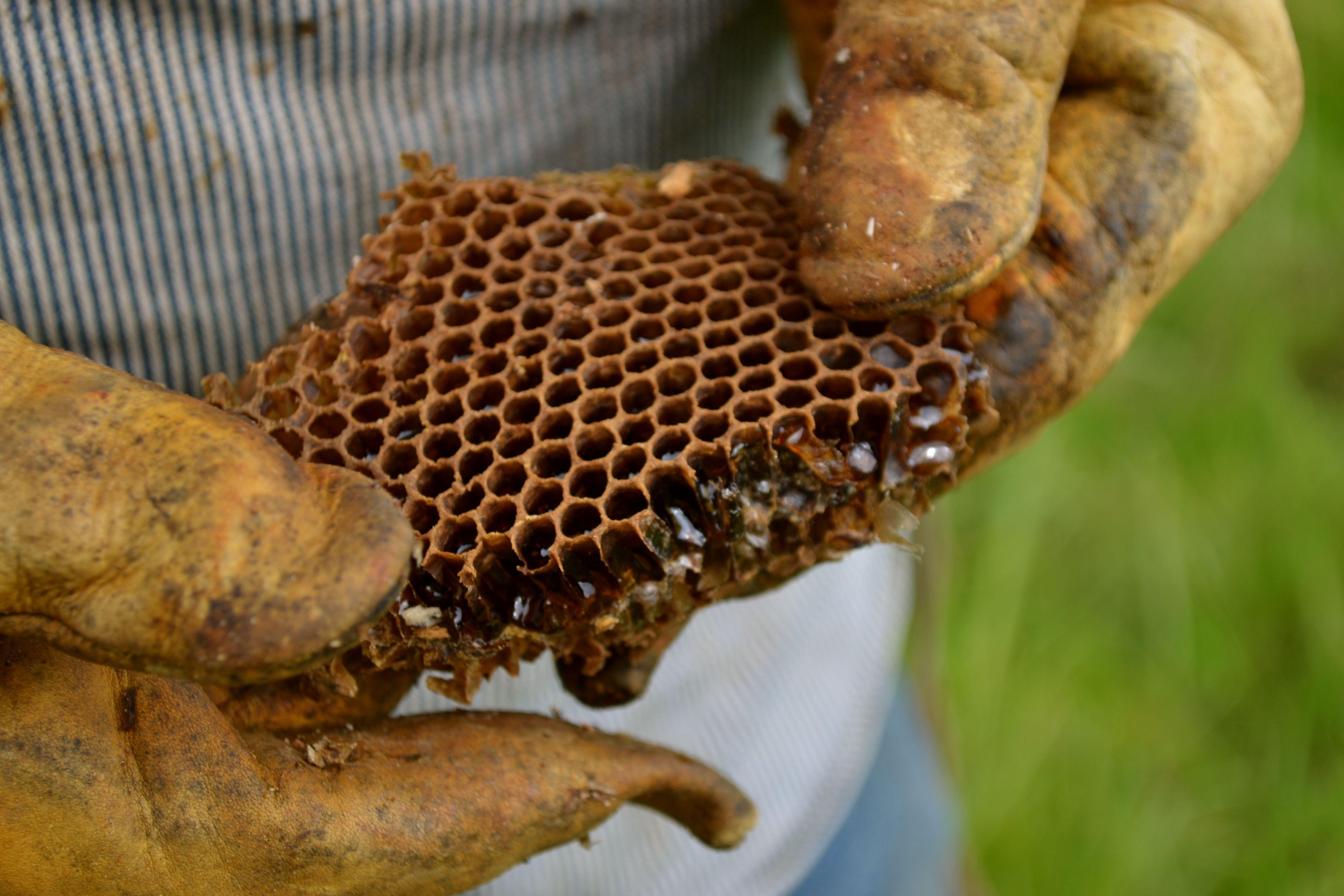 hiving wild honey bees