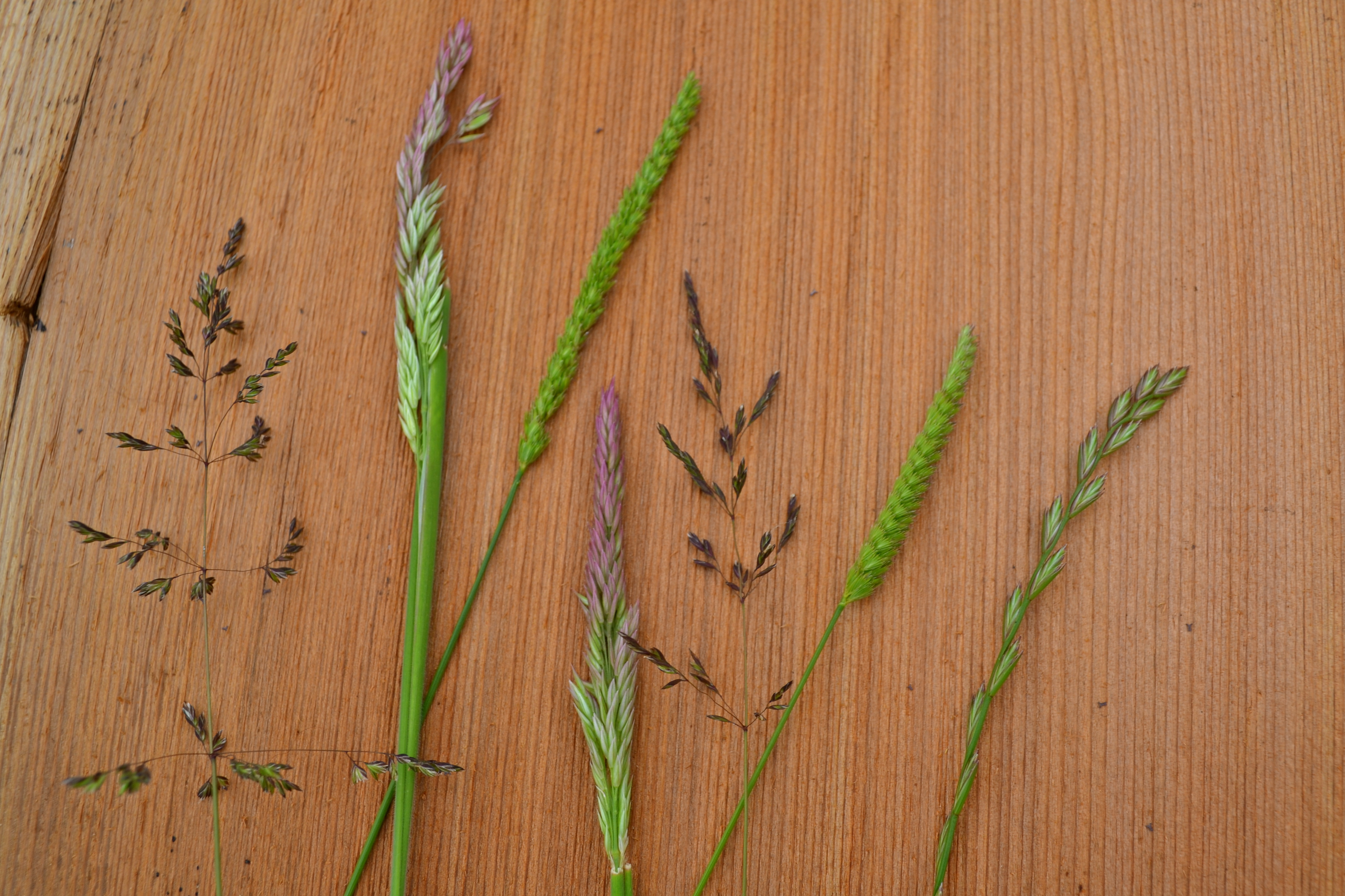 Help with identifying grass species!?
