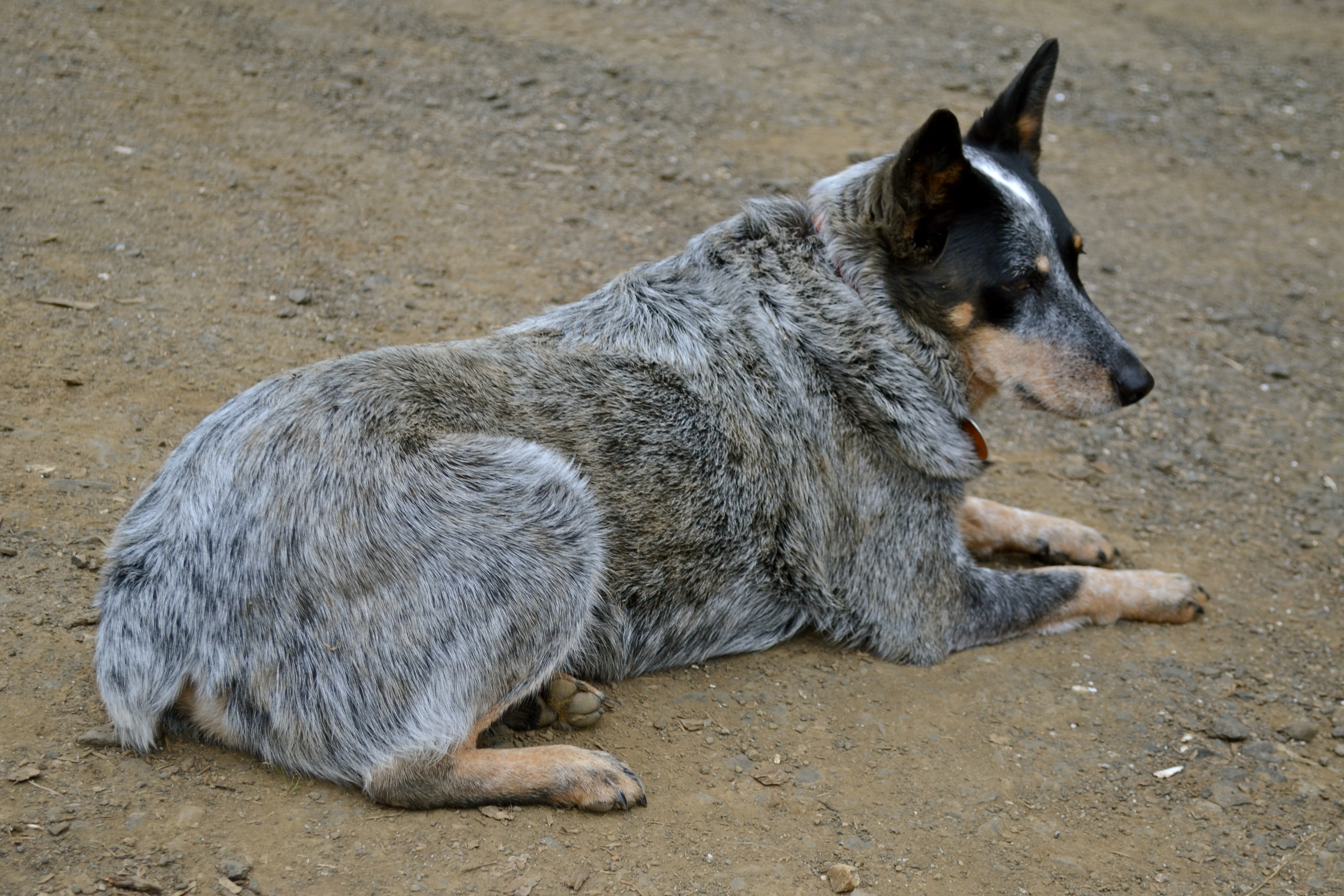 heeler (Australian cattle dog), and she's about eight years old