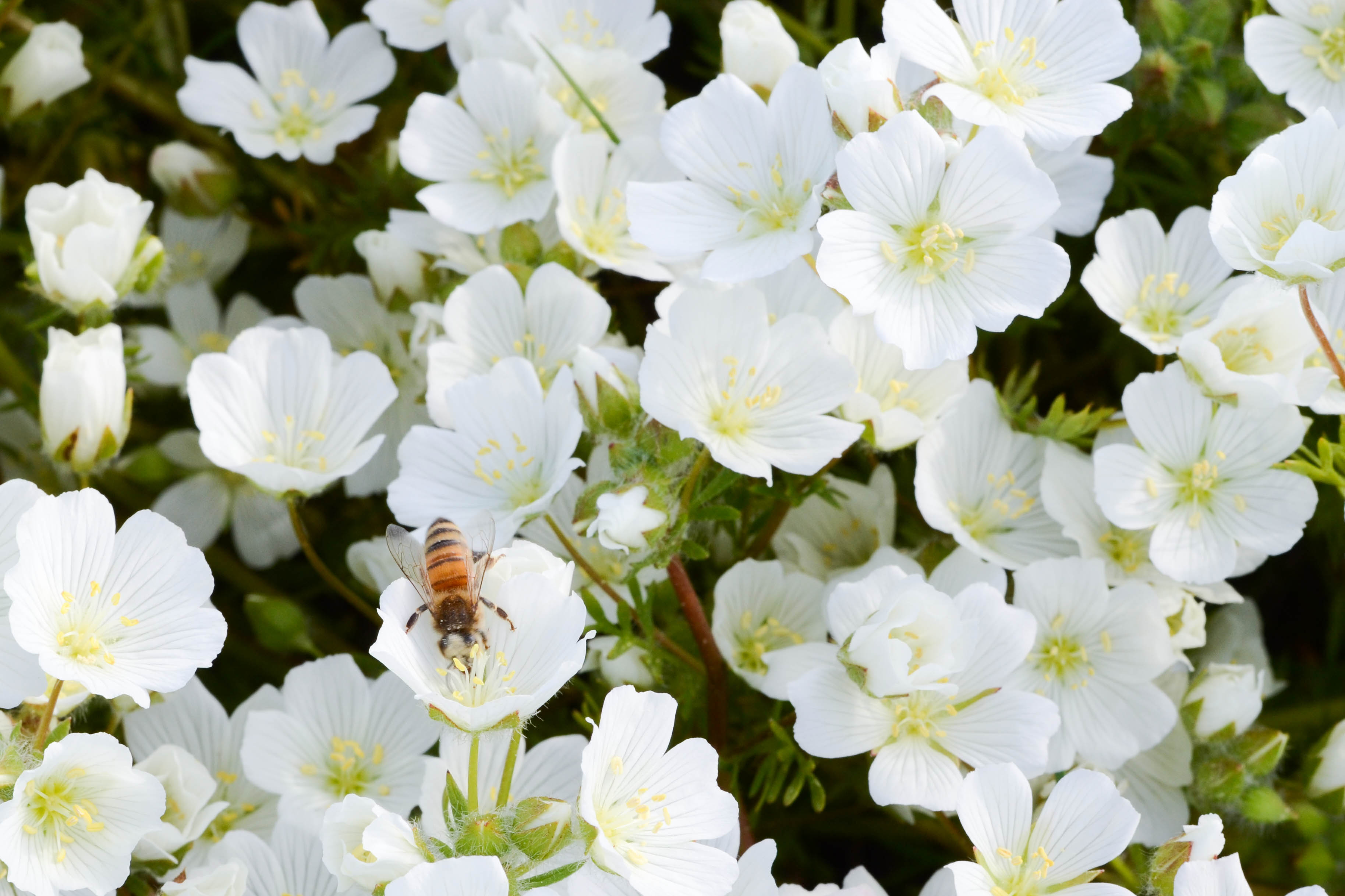 Honeybees on Meadowfoam