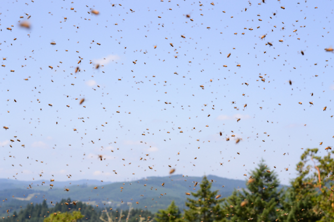 how to catch a swarm of honey bees