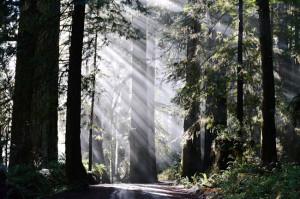 Crescent City redwoods // Wayward Spark