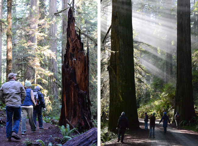 hiking-in-the-redwoods