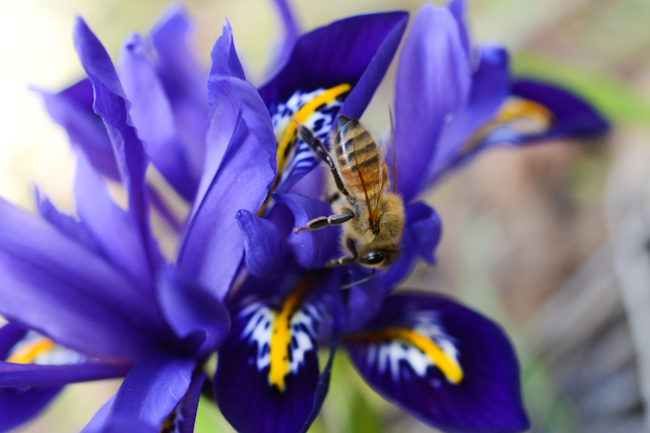 honeybee on iris reticulata