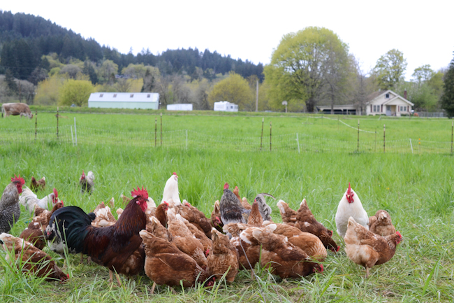 chickens at Provenance Farm // Wayward Spark