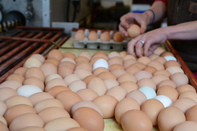 packing eggs at Provenance Farm // Wayward Spark