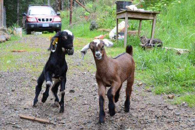 nubian goat kids // Wayward Spark