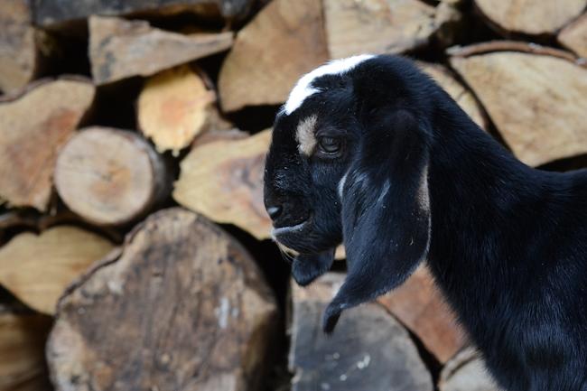 nubian goat kid // Wayward Spark
