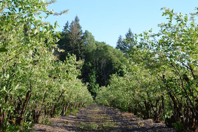 Radke's Blueberry Farm // Wayward Spark