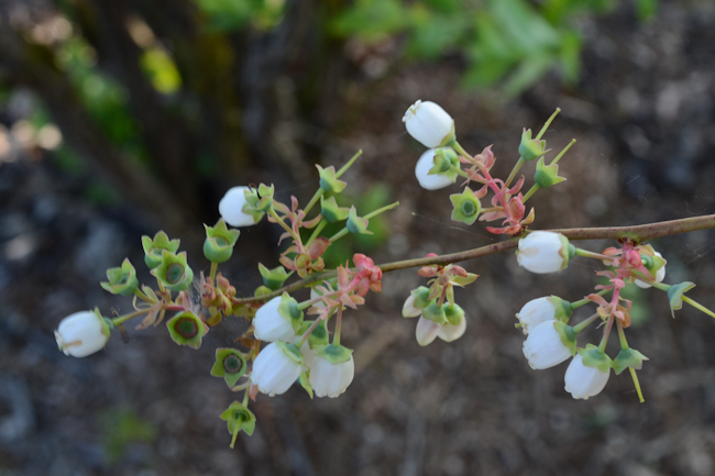 blooming blueberries // Wayward Spark