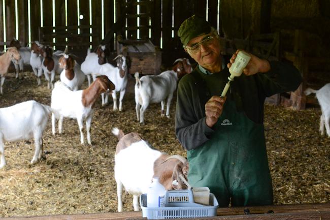 Delbert Kessi vaccinating Boer goats // Wayward Spark