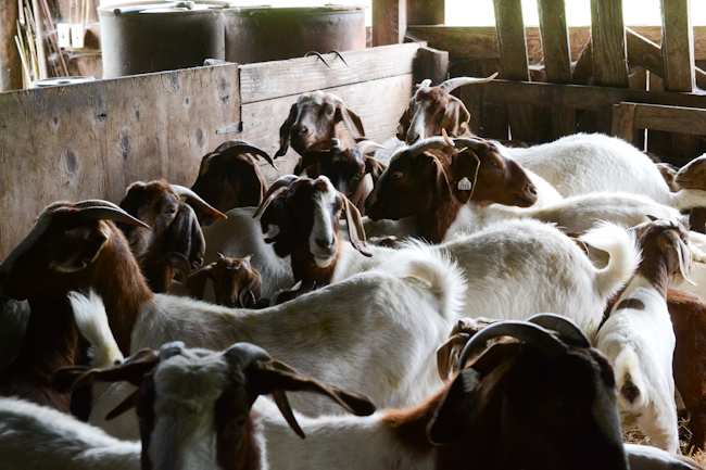Vaccinating and Castrating Boer Goats with Delbert Kessi