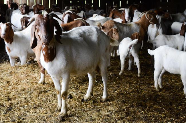 mpp goat farming