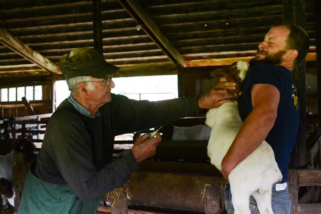 vaccinating goats // Wayward Spark