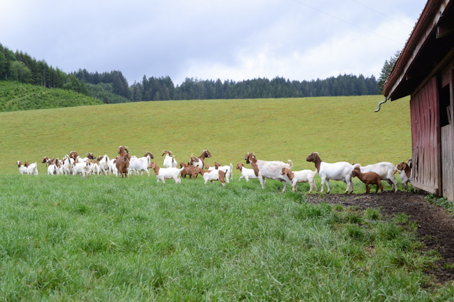 Boer goats // Wayward Spark