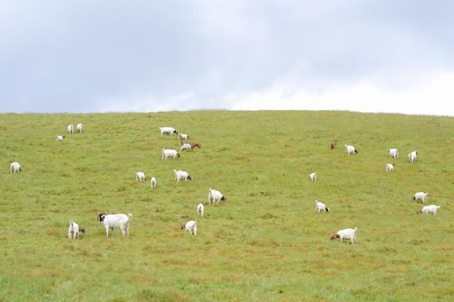 goats on pasture // Wayward Spark