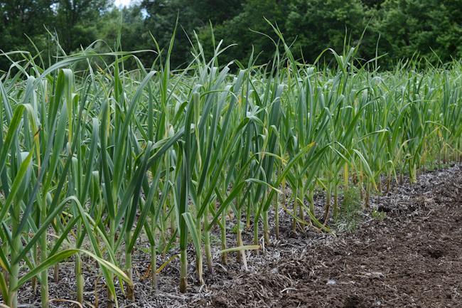 'Oregon Blue' garlic // Wayward Spark