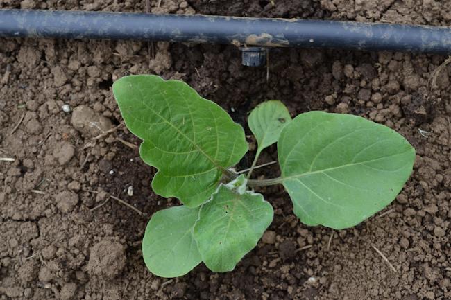 eggplant on drip irrigation // Wayward Spark