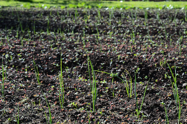 leeks and weeds // Wayward Spark