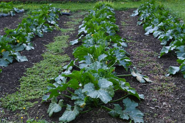 zucchini plants // Wayward Spark