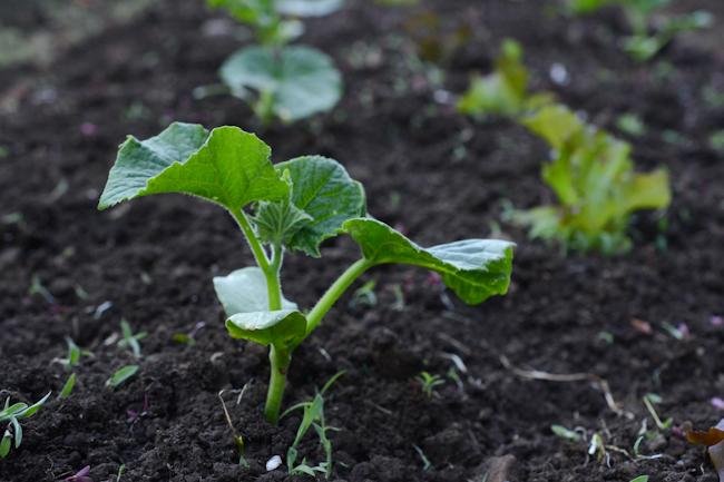 cucumber plant // Wayward Spark