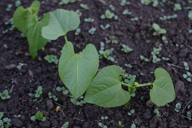 green bean starts // Wayward Spark
