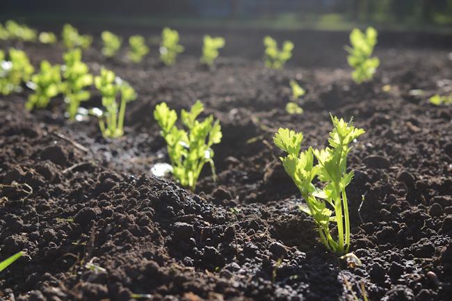 celery starts // Wayward Spark