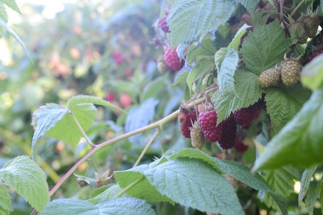 raspberries // Wayward Spark