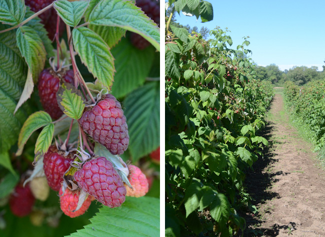 U-picking raspberries in Oregon // Wayward Spark
