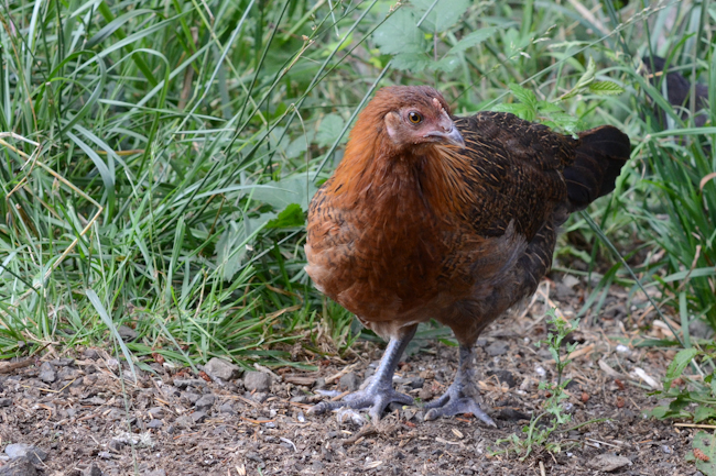 young chicken // Wayward Spark