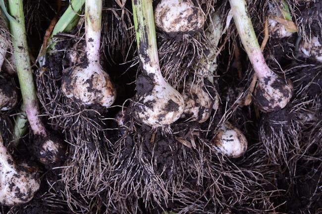 garlic harvest // Wayward Spark