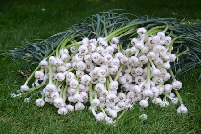 green garlic // Wayward Spark