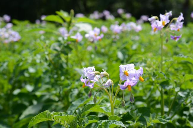 potato flowers // Wayward Spark