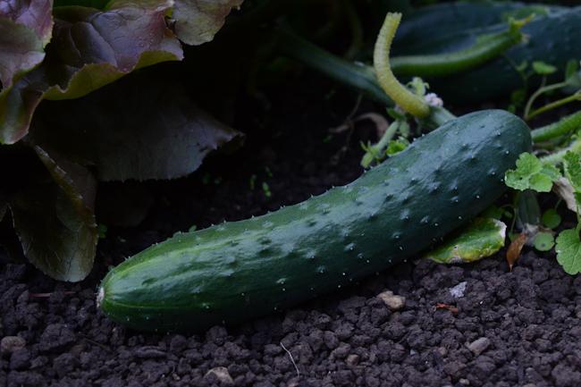 'sweet slice' cucumber // Wayward Spark