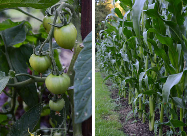 green tomatoes and corn // Wayward Spark