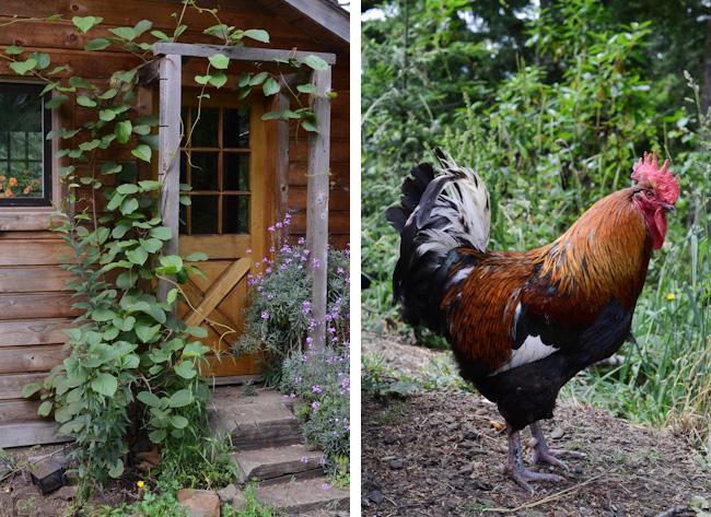 black copper marans rooster // Wayward Spark