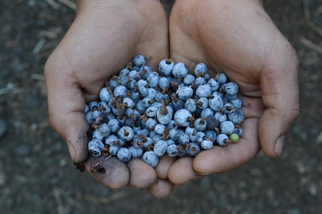 harvesting red flowering currant fruit // Wayward Spark