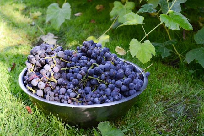 concord grapes // Wayward Spark