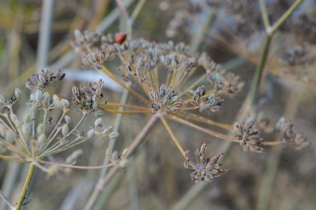 fennel seed // Wayward Spark