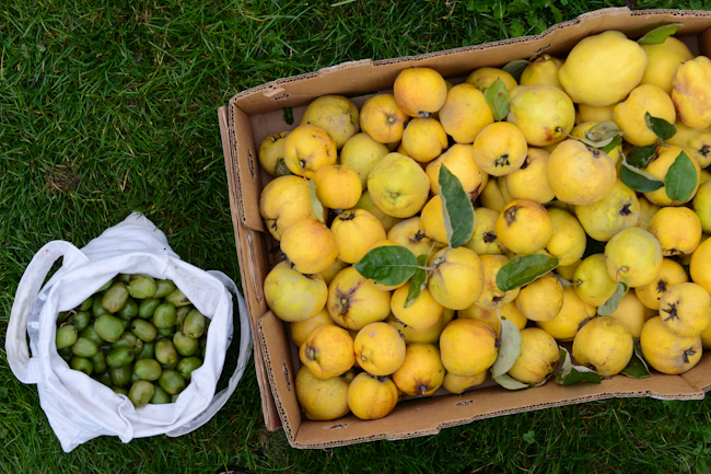 hardy kiwi and quince harvest // Wayward Spark
