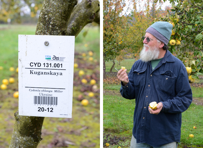 sampling quince at a USDA clonal germplasm repository // Wayward Spark
