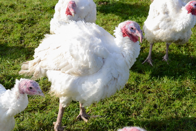 pastured turkeys at Provenance Farm // Wayward Spark