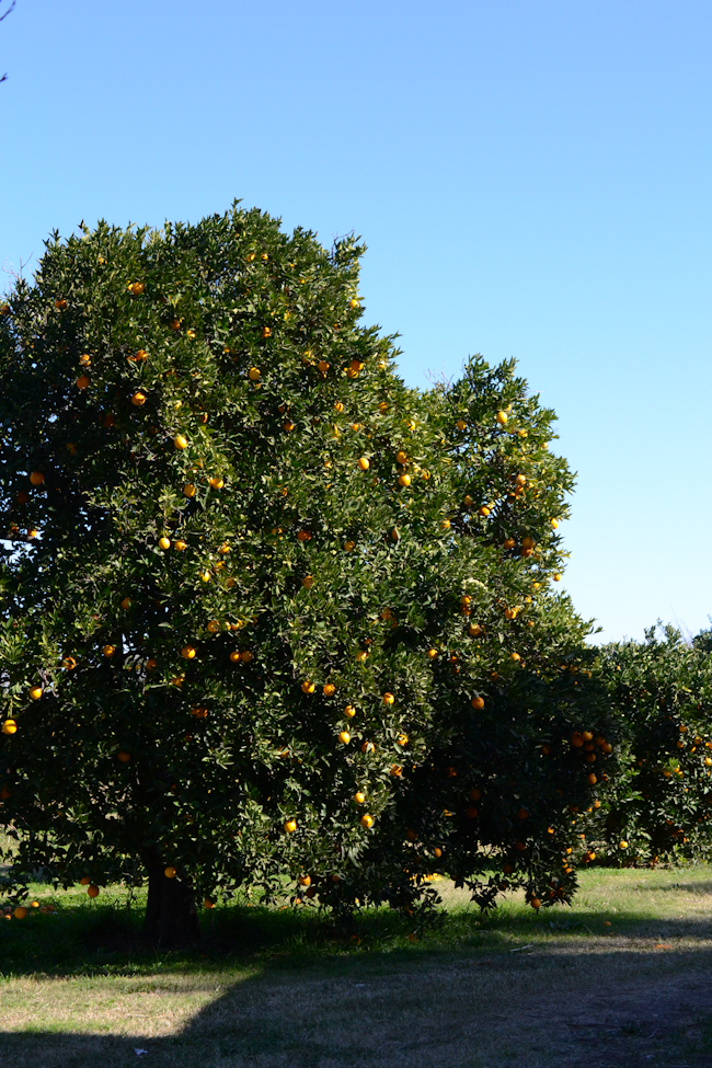 oranges at Heath Ranch // Wayward Spark