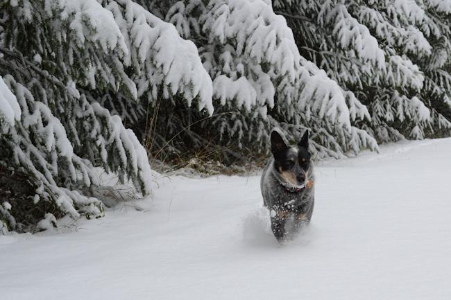blue heeler in the snow // Wayward Spark