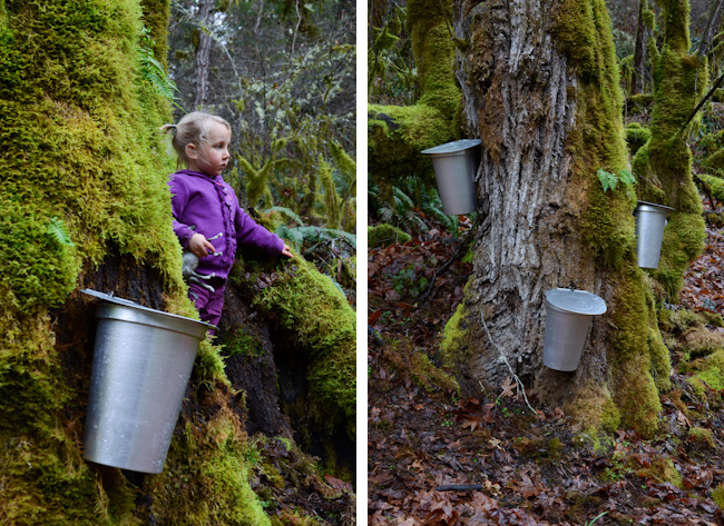 tapping maple trees in Oregon // Wayward Spark