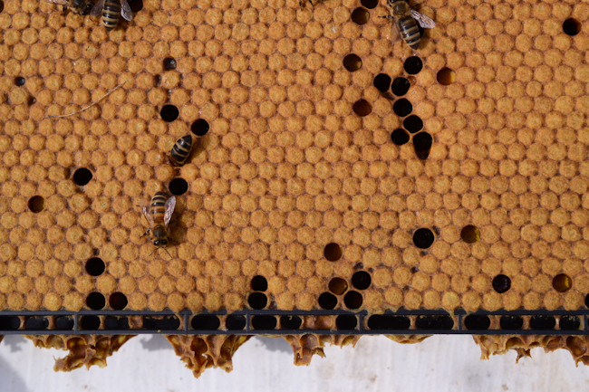 honeybee brood comb // Wayward Spark