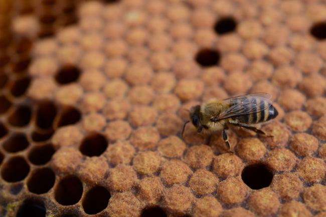 honeybee on comb // Wayward Spark