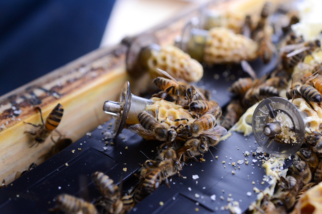 grafting honeybee queens with Henry Storch of Old Blue Raw Honey // Wayward Spark